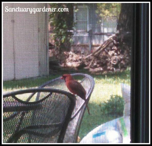 Male cardinal #2 on my patio chair