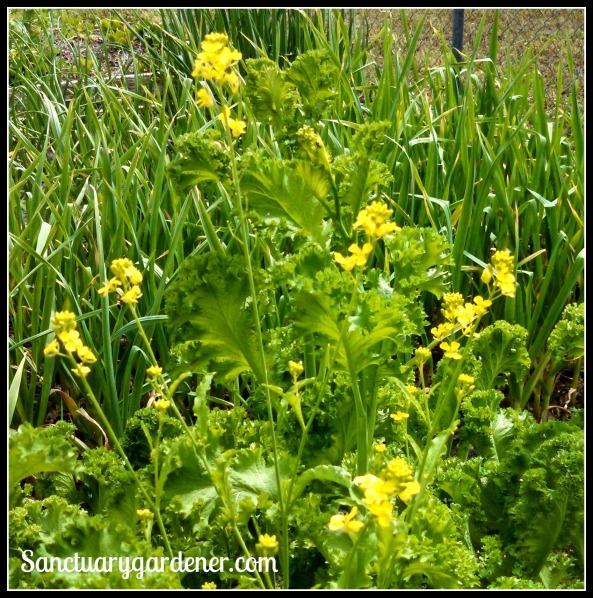 Mustard greens flowers