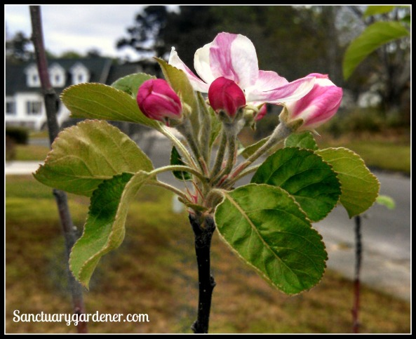 Pink Lady apple blossom with buds