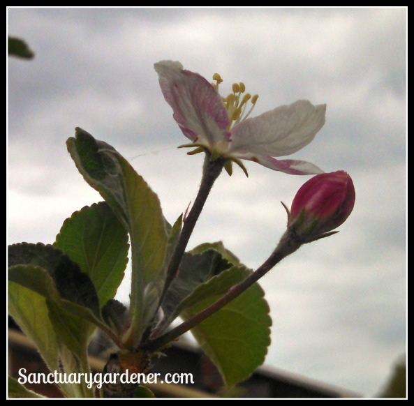 Pink Lady apple blossom