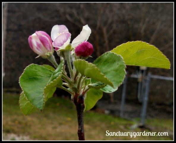 Pink Lady apple blossom