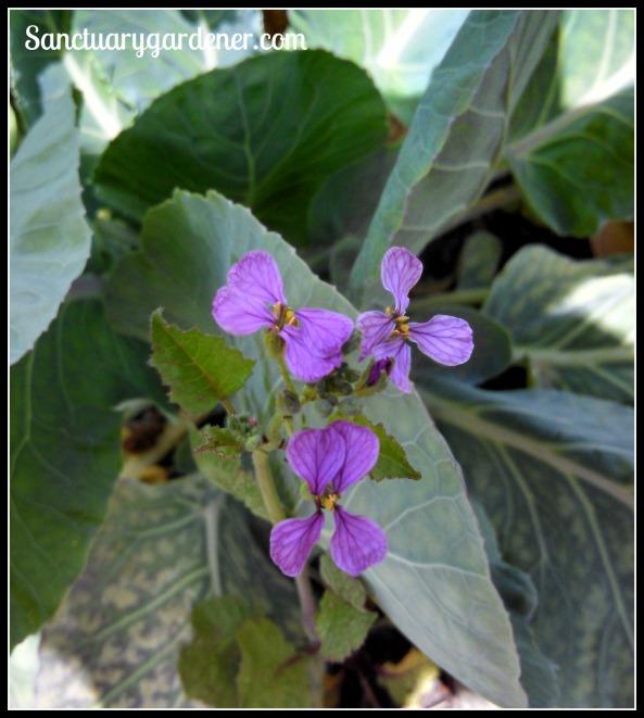 Purple Plum radish flowers