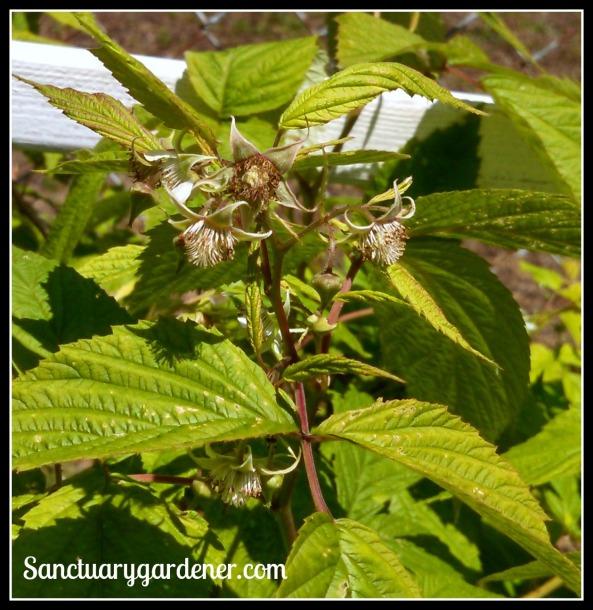 Raspberry flowers ~ soon to be berries