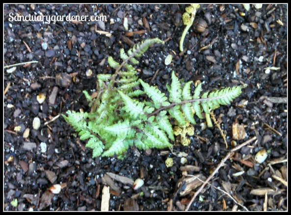 Red beauty fern ~ 8 days after transplanting