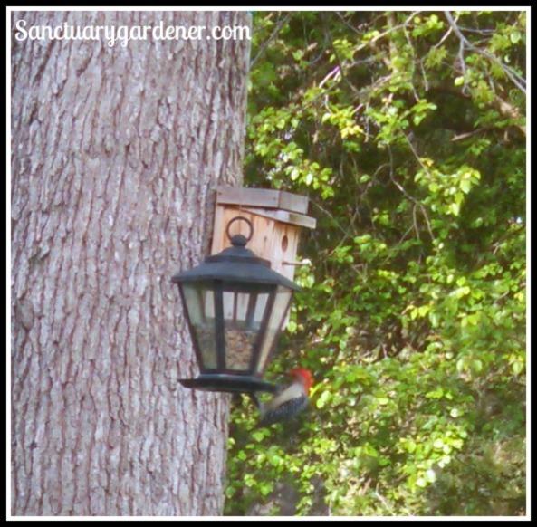 Red-bellied woodpecker on my feeder