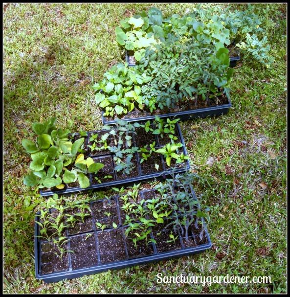 Seedlings being hardened off