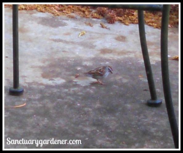 Sparrow on my patio