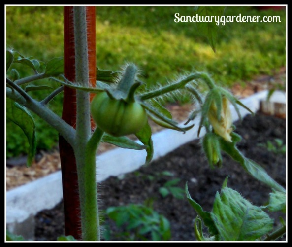 First Black Krim tomato ~ from cutting off last year's plant