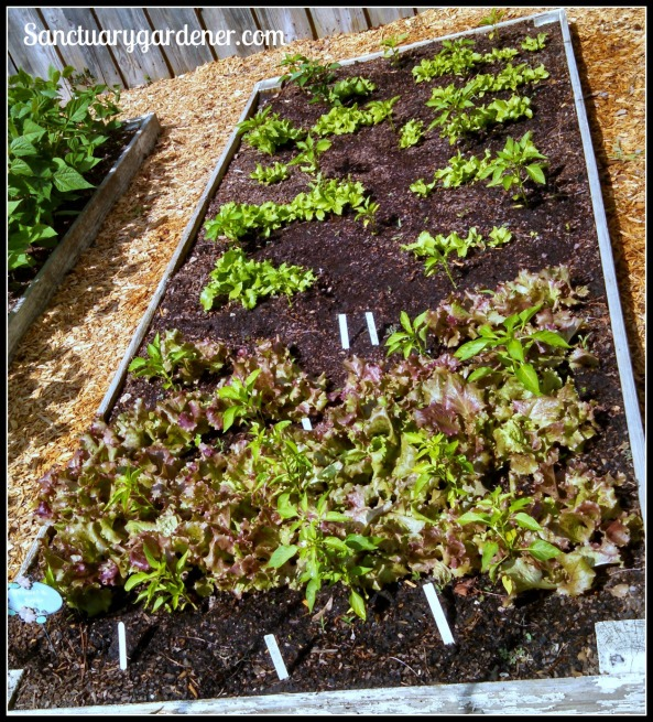 Bed 10 in May 2015 ~ Sweet peppers & lettuce