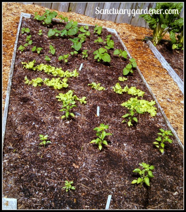 Bed 11 in May 2015 ~ Okra, lettuce & chili peppers