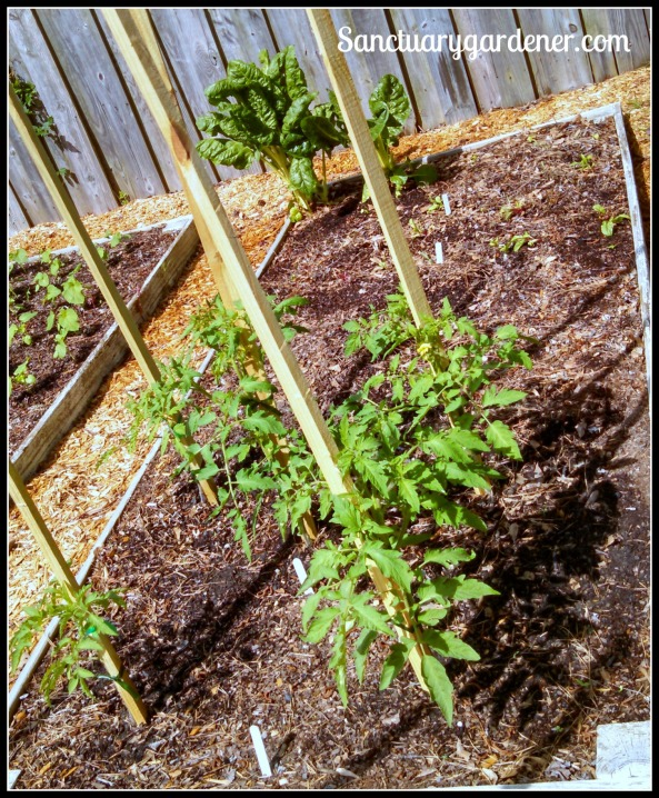 Bed 12 in May 2015 ~ Chard, celery, and slicing tomatoes