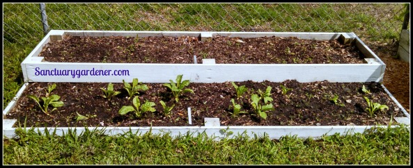 Bed 12x in May 2015 ~ Fallow & perpetual spinach
