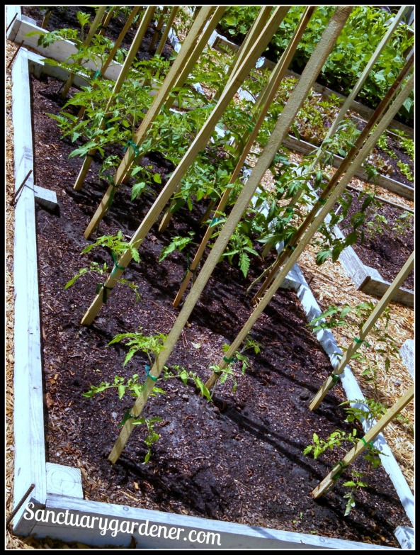 Bed 15 in May 2015 ~ Paste tomatoes