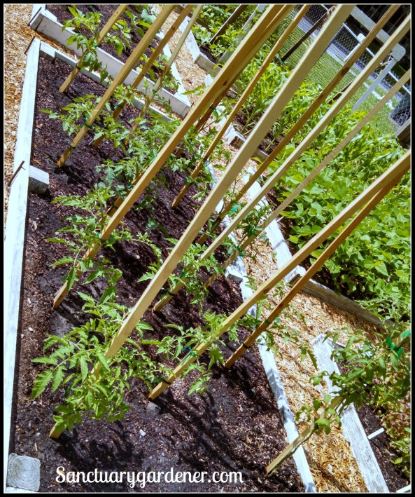 Bed 16 in May 2015 ~ Slicing & cherry tomatoes
