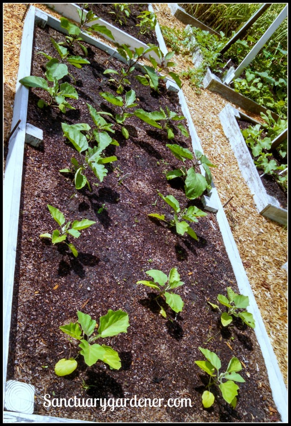 Bed 17 in May 2015 ~ Eggplant