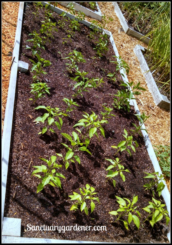 Bed 18 in May 2015 ~ Chili peppers