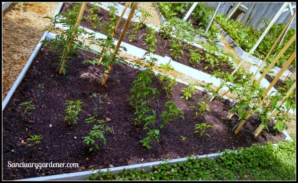 Bed 20 in May 2015 ~ Chili peppers and slicing & cherry tomatoes