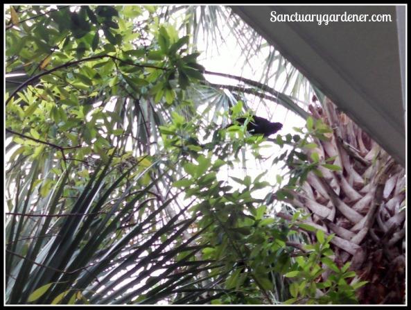 Blackbird in palmetto tree