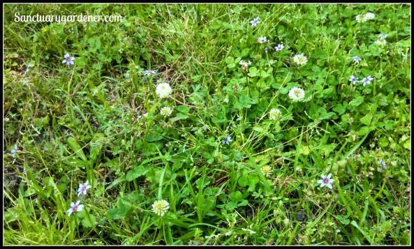 Blue-eyed grass flowering