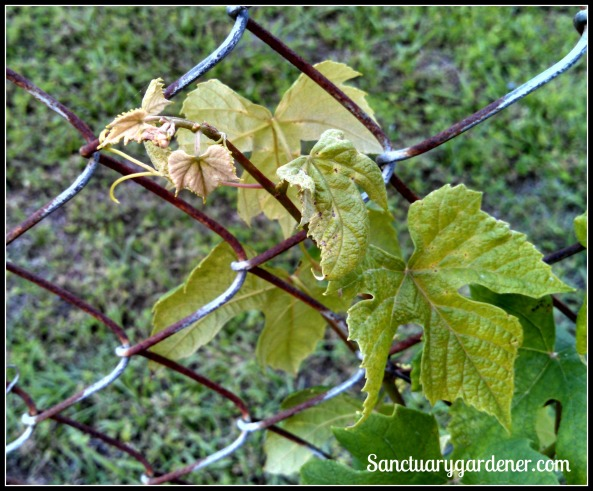 Concord grape leaves - zinc or iron deficiency??