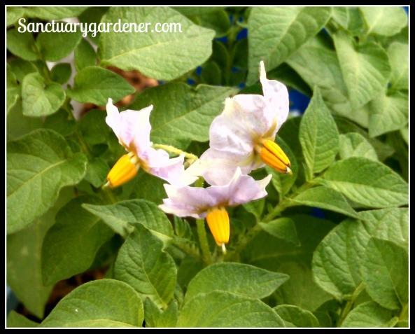 Fingerling potato flowers