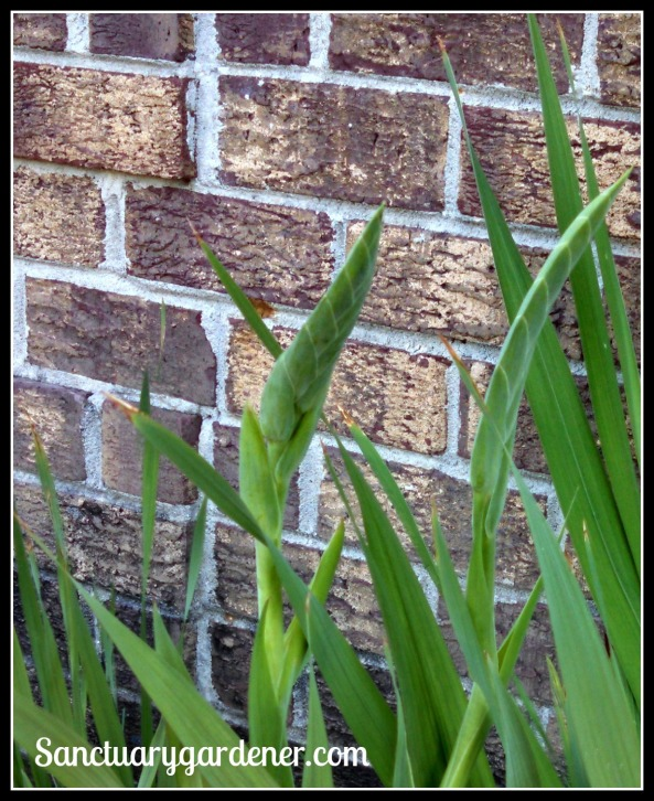 Gladiolus bud