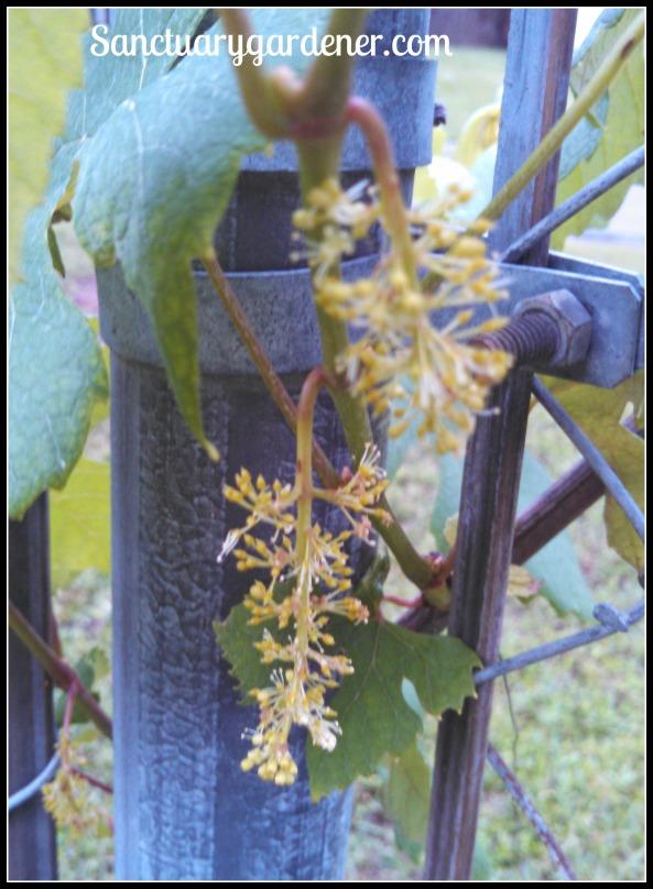 Concord grape flower