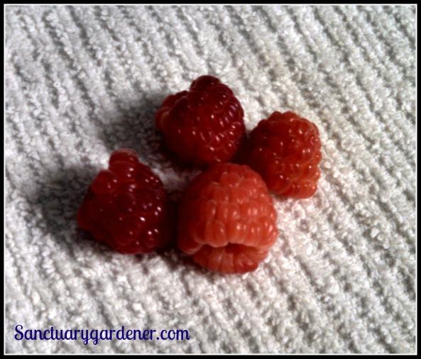 First harvest of this season's Caroline raspberries