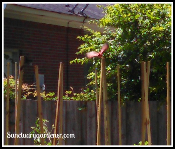 Male cardinal flying off the tomato stake