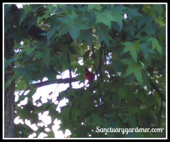 Male cardinal in the tree, looking at me.