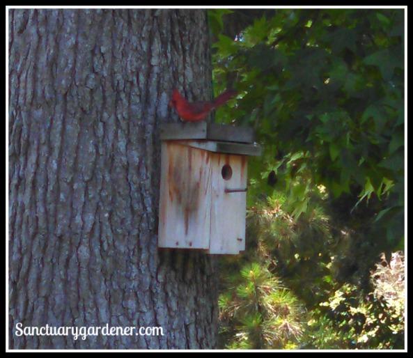 Male cardinal on my bird house