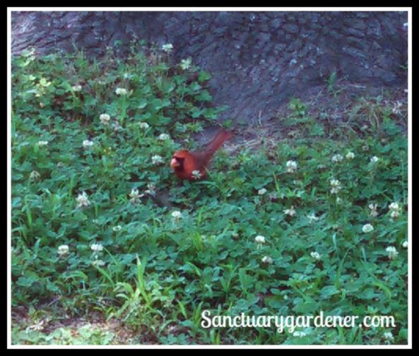 Male cardinal - last look before flying away