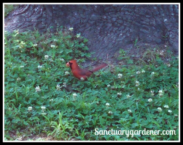 Male cardinal, looking for dropped bird seed