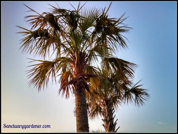 Palmetto trees