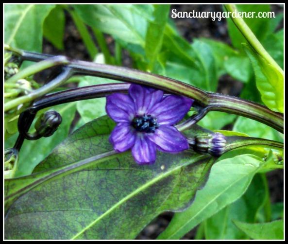 Black Hungarian flower