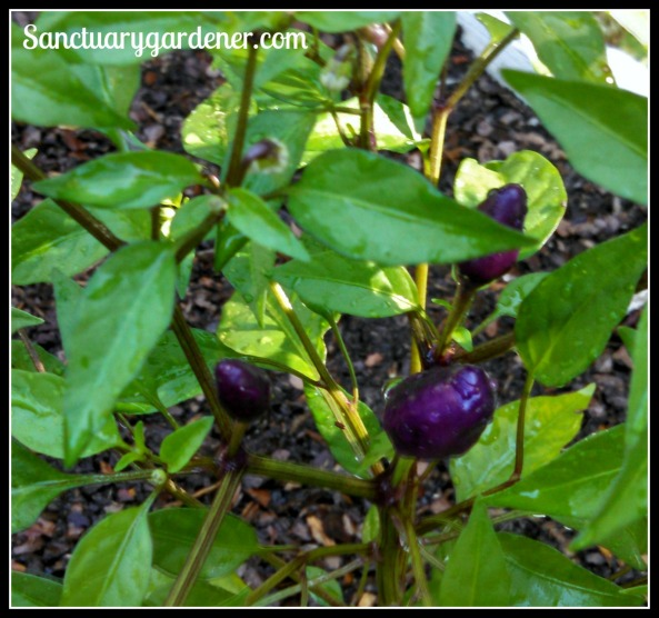 Filius Blue peppers almost ready to harvest