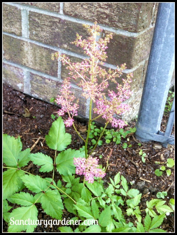 Pink astilbe starting to flower