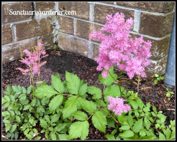 Pink astilbe blooming
