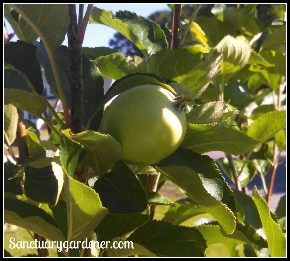 Pink Lady apple growing