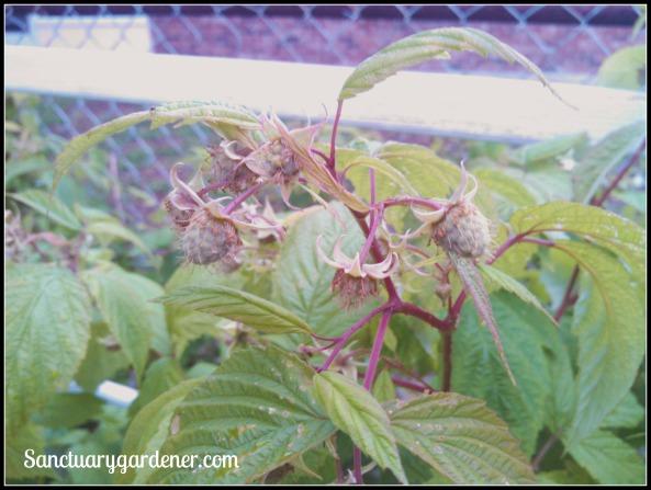 Raspberry beginning to fruit