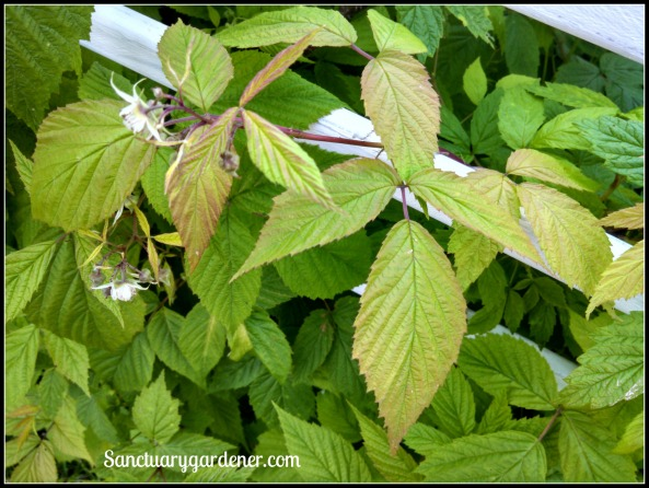 Raspberry leaves with potassium deficiency