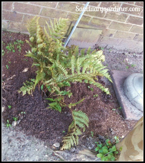 Fern from a friend planted in my shade garden