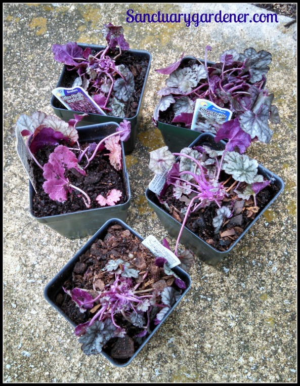 Silver Scrolls heuchera the day they arrived
