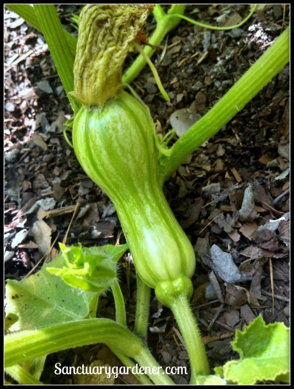 First Butterbush (butternut) squash forming