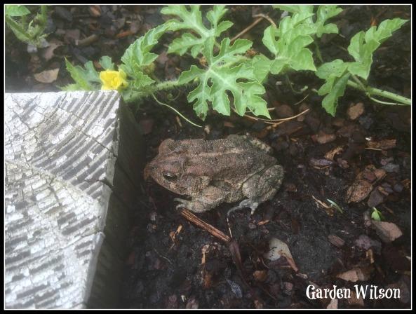 Toad in my garden