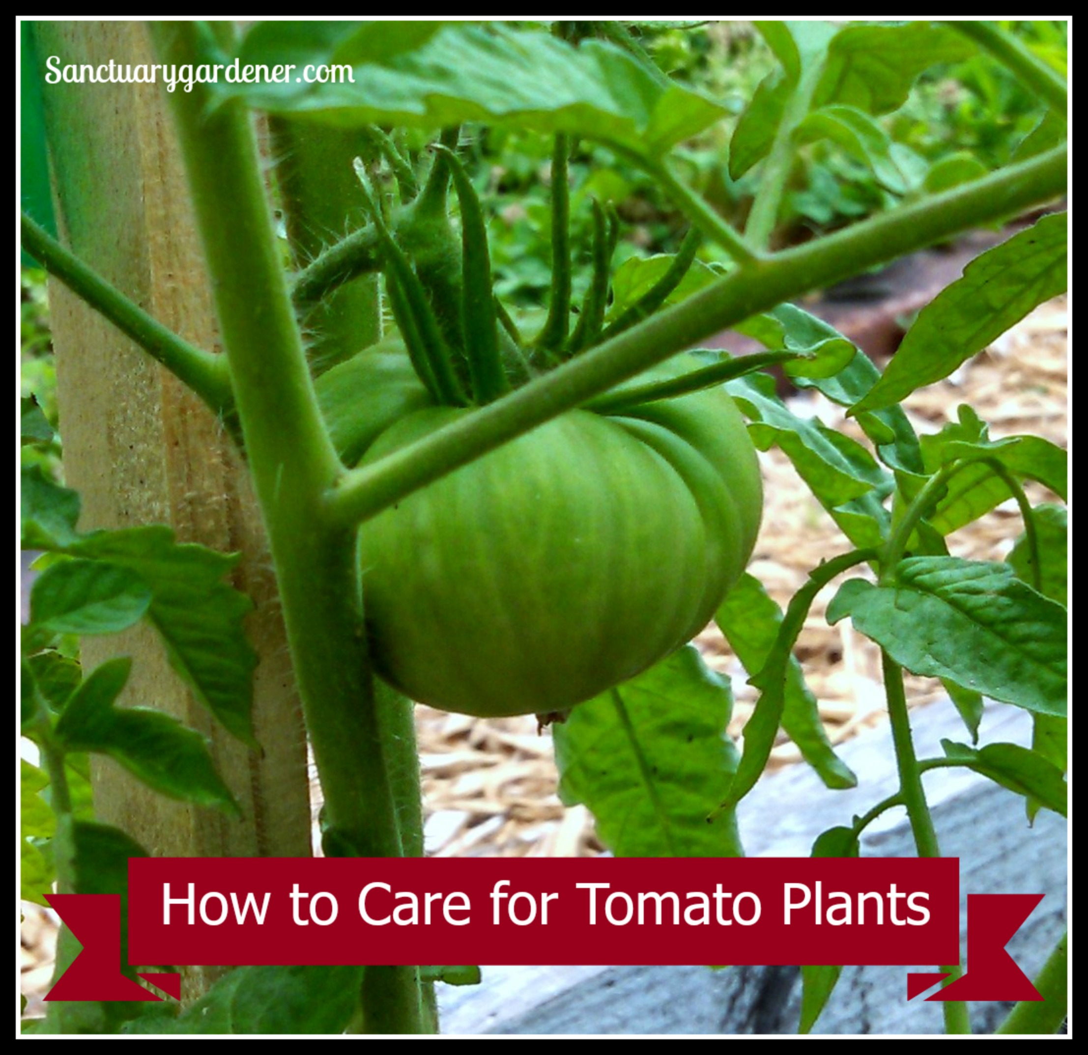 how to care for tomato plants sanctuary gardener. Black Bedroom Furniture Sets. Home Design Ideas