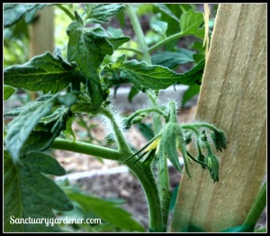 When staking tomatoes, leave room for fruit growth