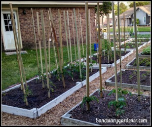 Tomato plants staked