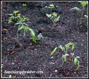 Tomato plants transplanted