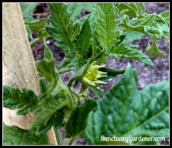 Cherokee Purple tomato flower